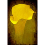 Calla Lily on Texture