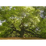 Angel Oak 1