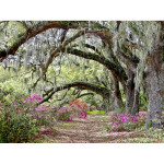 Azaleas and Oaks 1