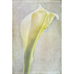 Textured Calla Lilly
