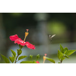 Hibiscus with Hummingbird